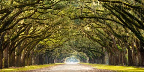 Path Lined with Oak Trees