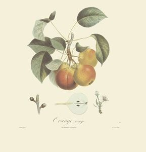 Pears/Orange Rouge