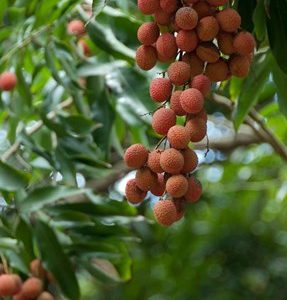 Tropical Litchi Fruit On Tree, Reunion Island, French Overseas Territory