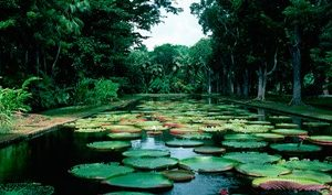 Lily pads floating on water, Pamplemousses Gardens, Mauritius Island, Mauritius