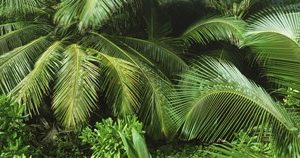 Palm fronds and green vegetation, Seychelles