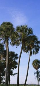Palm trees on a landscape, Myakka River State Park, Sarasota, Florida, USA